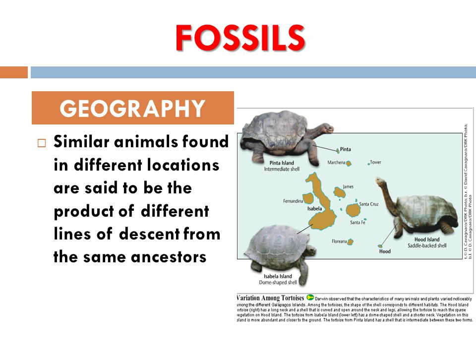 FOSSILS  Similar animals found in different locations are said to be the product of different lines of descent from the same ancestors GEOGRAPHY