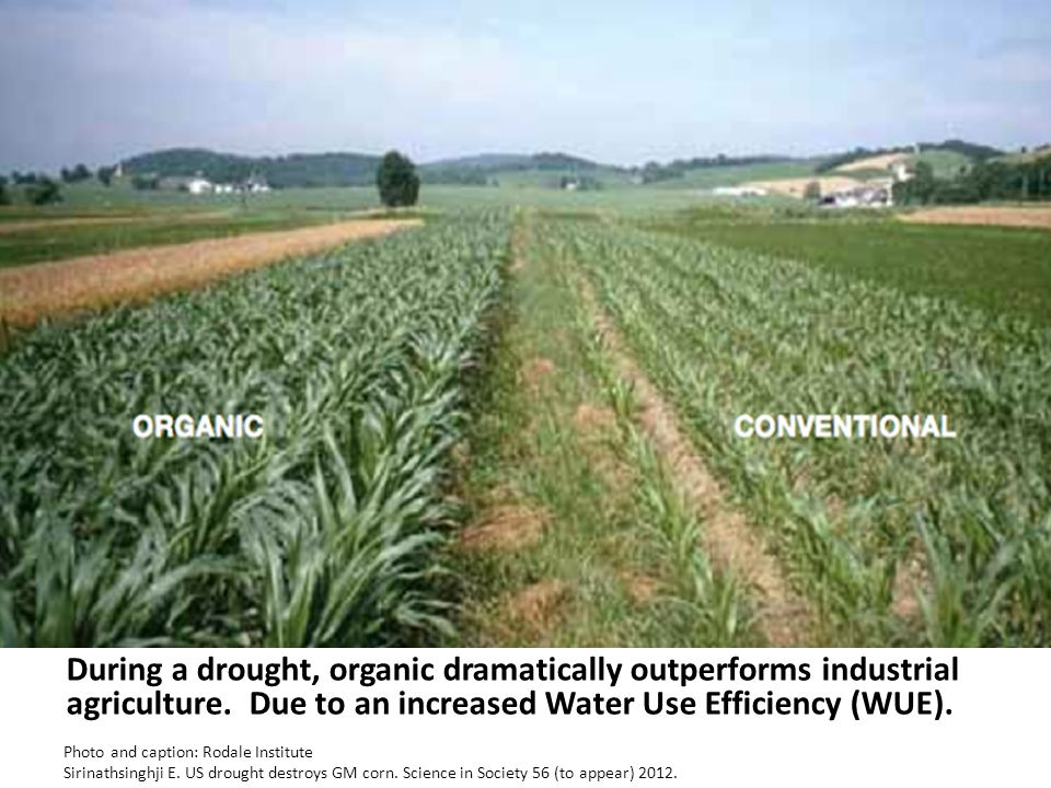 During a drought, organic dramatically outperforms industrial agriculture.