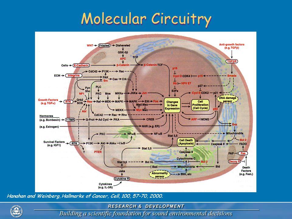 Molecular Circuitry Hanahan and Weinberg, Hallmarks of Cancer, Cell, 100, 57-70, 2000.
