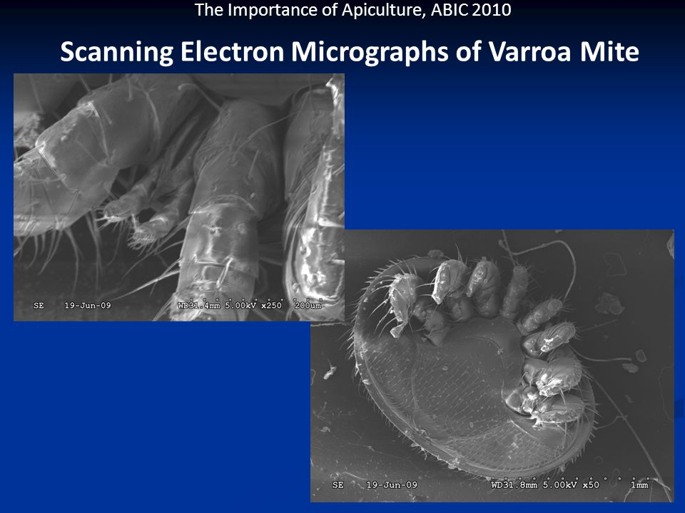 The Importance of Apiculture, ABIC 2010 Scanning Electron Micrographs of Varroa Mite