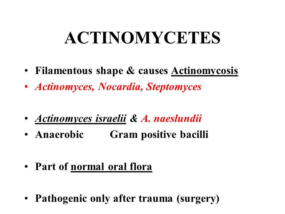 ACTINOMYCETES Filamentous shape & causes Actinomycosis Actinomyces, Nocardia, Steptomyces Actinomyces israelii & A. naeslundii AnaerobicGram positive