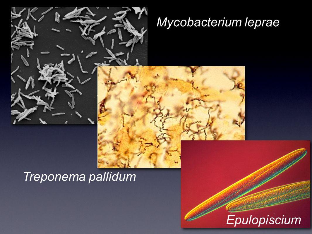 Mycobacterium leprae Treponema pallidum Epulopiscium