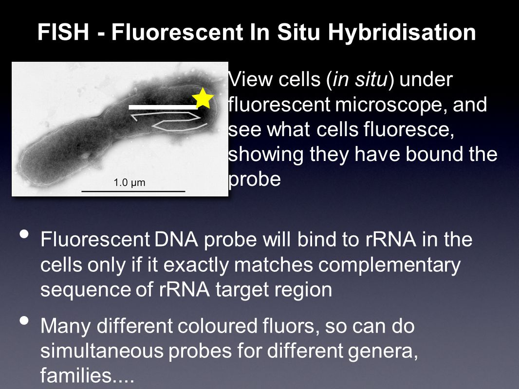 Fluorescent DNA probe will bind to rRNA in the cells only if it exactly matches complementary sequence of rRNA target region Many different coloured fluors, so can do simultaneous probes for different genera, families....