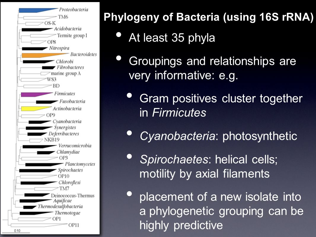 Phylogeny of Bacteria (using 16S rRNA) At least 35 phyla Groupings and relationships are very informative: e.g.