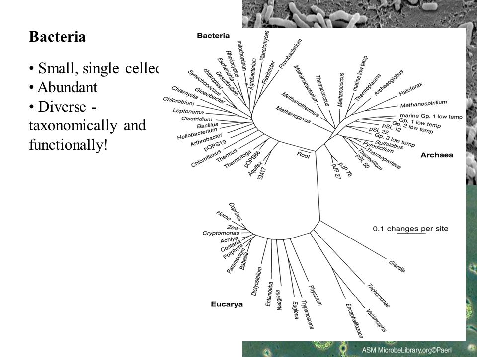 Bacteria Small, single celled Abundant Diverse - taxonomically and functionally!