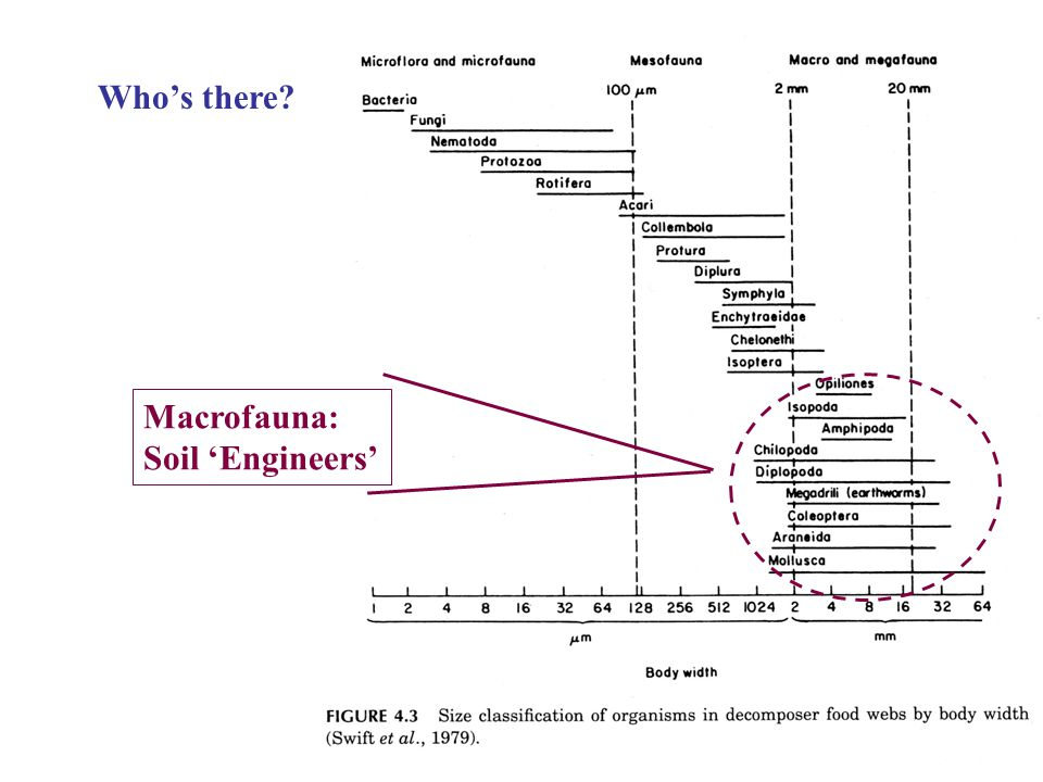 Who's there Macrofauna: Soil 'Engineers'