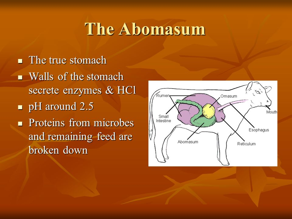 The Omasum Only small particles of food pass into the omasum Only small particles of food pass into the omasum Also called the Butcher's Bible Also ca
