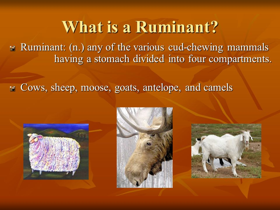 In the next 20 minutes, we'll… Define Ruminant Examine digestive system of cattle Discuss the symbionts Describe the new metabolism Explain how Infection occurs