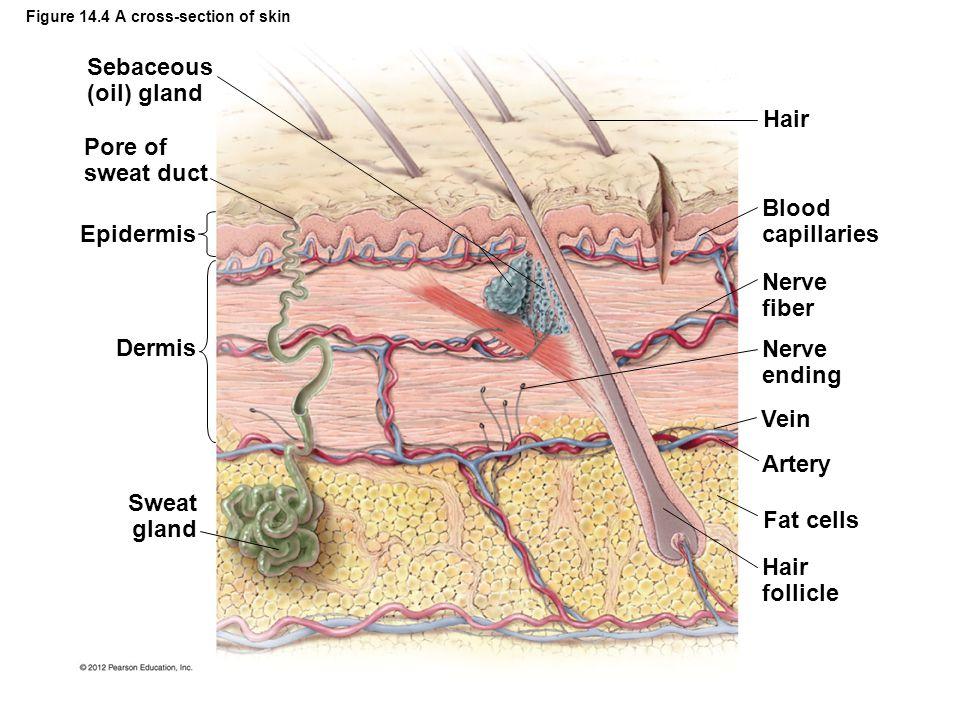 Figure 14.4 A cross-section of skin Sebaceous (oil) gland Pore of sweat duct Epidermis Dermis Sweat gland Hair Blood capillaries Nerve fiber Nerve end