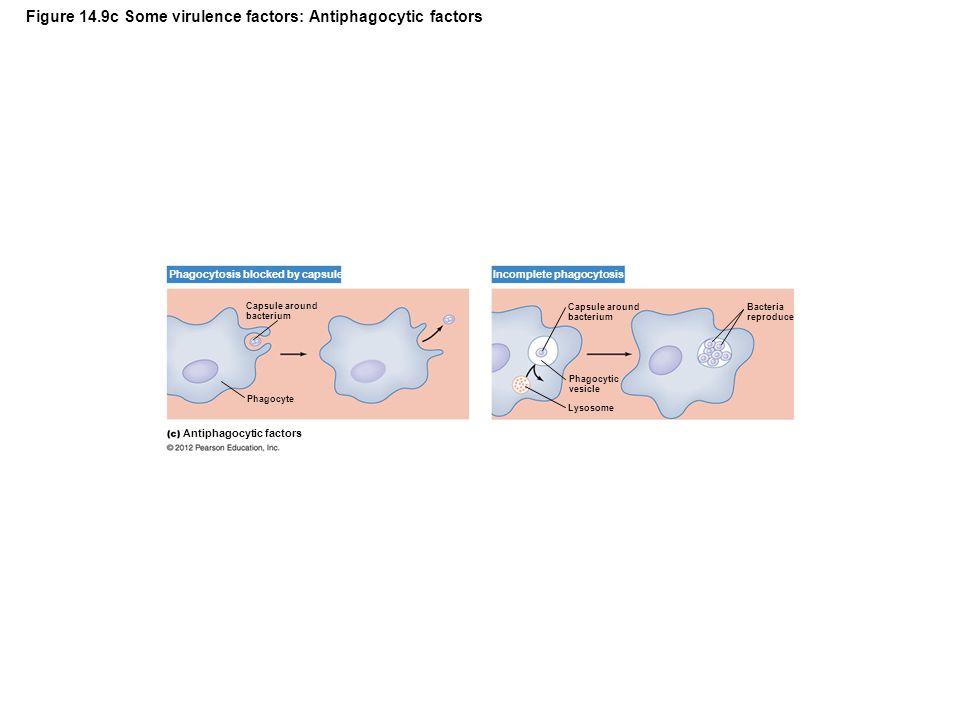 Figure 14.9c Some virulence factors: Antiphagocytic factors Capsule around bacterium Phagocytosis blocked by capsule Antiphagocytic factors Incomplete