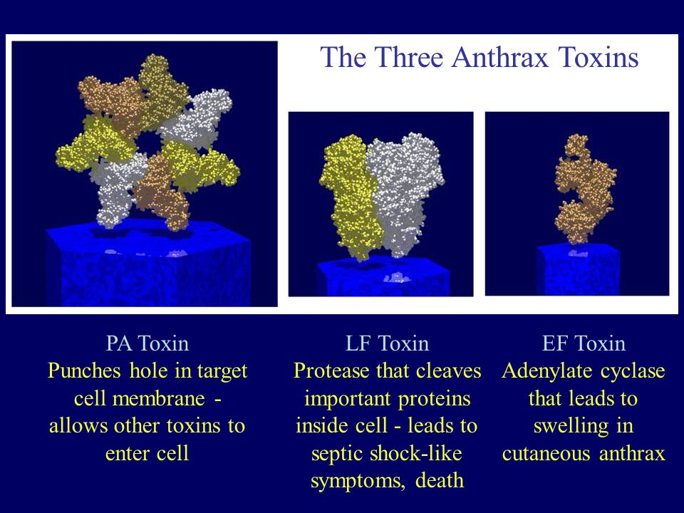 The Three Anthrax Toxins PA Toxin Punches hole in target cell membrane - allows other toxins to enter cell LF Toxin Protease that cleaves important pr