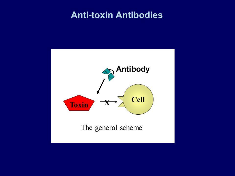 Cell Toxin The general scheme Antibody X Anti-toxin Antibodies