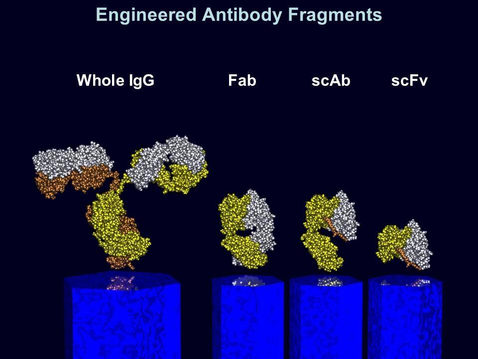 Whole IgGFabscAbscFv Engineered Antibody Fragments