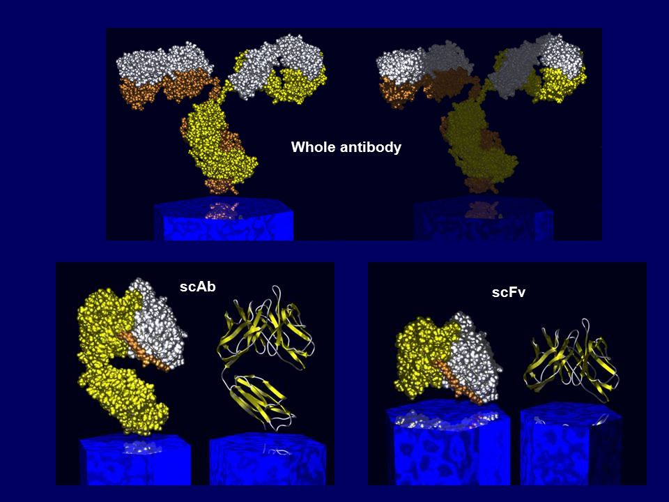scAb scFv Whole antibody
