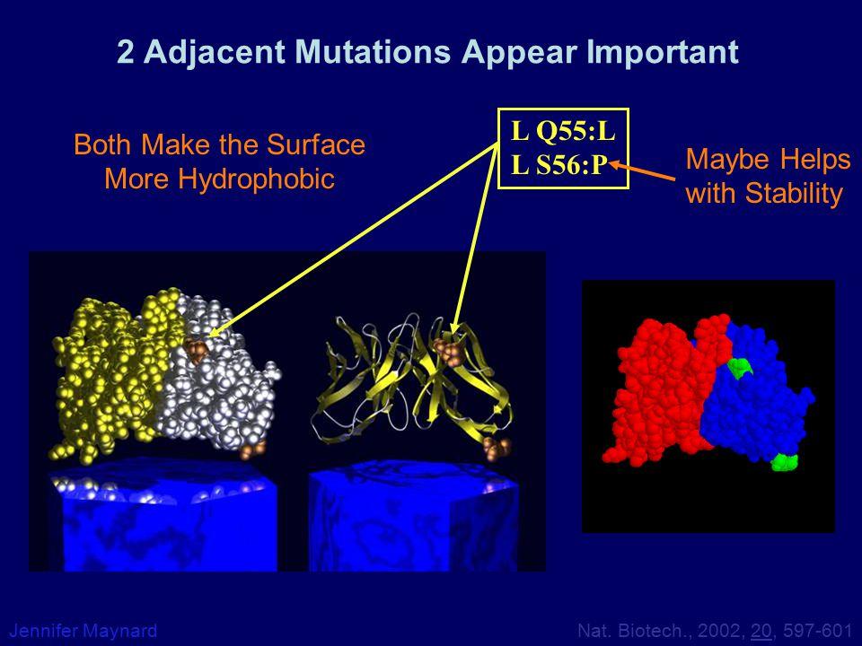 2 Adjacent Mutations Appear Important Jennifer Maynard L Q55:L L S56:P Nat. Biotech., 2002, 20, 597-601 Both Make the Surface More Hydrophobic Maybe H