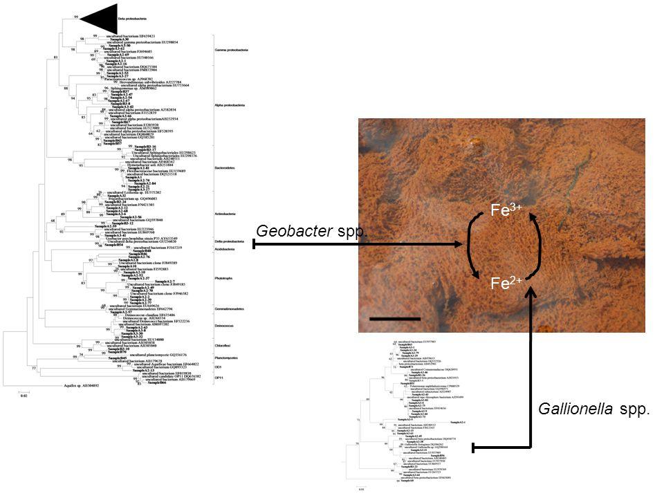 Fe 2+ Fe 3+ Geobacter spp. Gallionella spp.