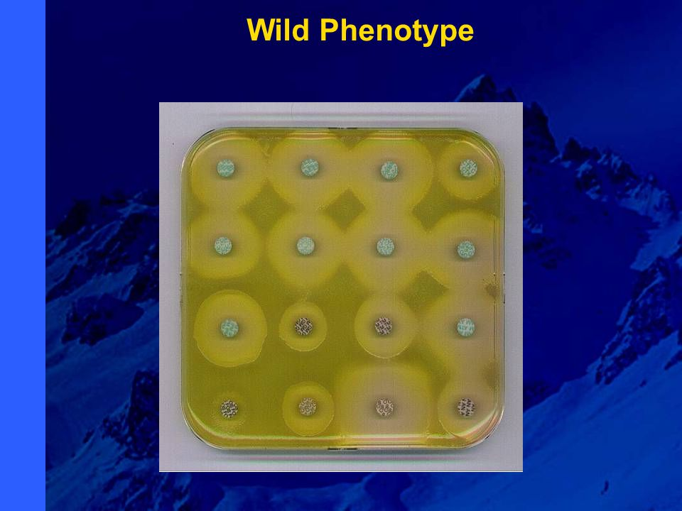 Wild Phenotype