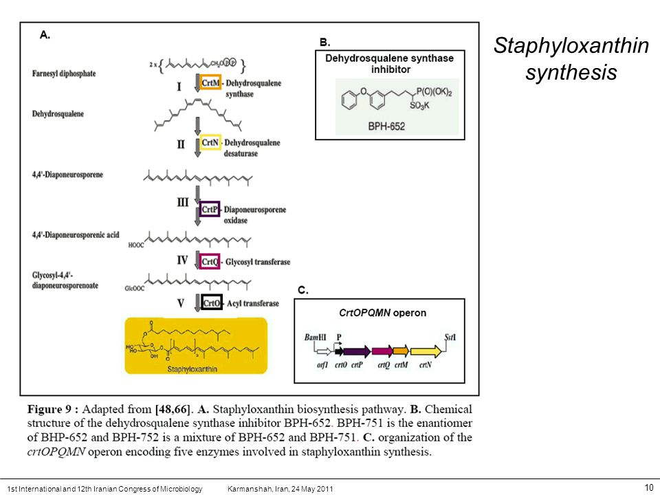 Karmanshah, Iran, 24 May 20111st International and 12th Iranian Congress of Microbiology 10 Staphyloxanthin synthesis