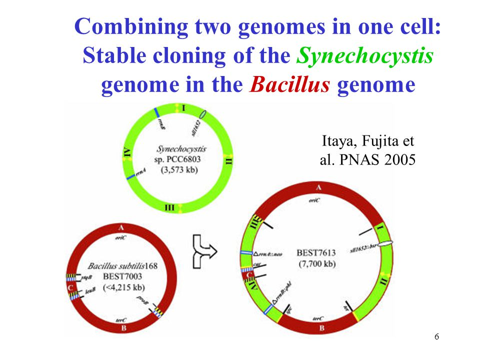 6 Combining two genomes in one cell: Stable cloning of the Synechocystis genome in the Bacillus genome Itaya, Fujita et al. PNAS 2005