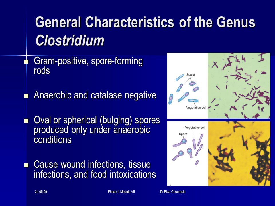 24.05.09Phase I/ Module VII Dr Ekta Chourasia General Characteristics of the Genus Clostridium Gram-positive, spore-forming rods Gram-positive, spore-forming rods Anaerobic and catalase negative Anaerobic and catalase negative Oval or spherical (bulging) spores produced only under anaerobic conditions Oval or spherical (bulging) spores produced only under anaerobic conditions Cause wound infections, tissue infections, and food intoxications Cause wound infections, tissue infections, and food intoxications