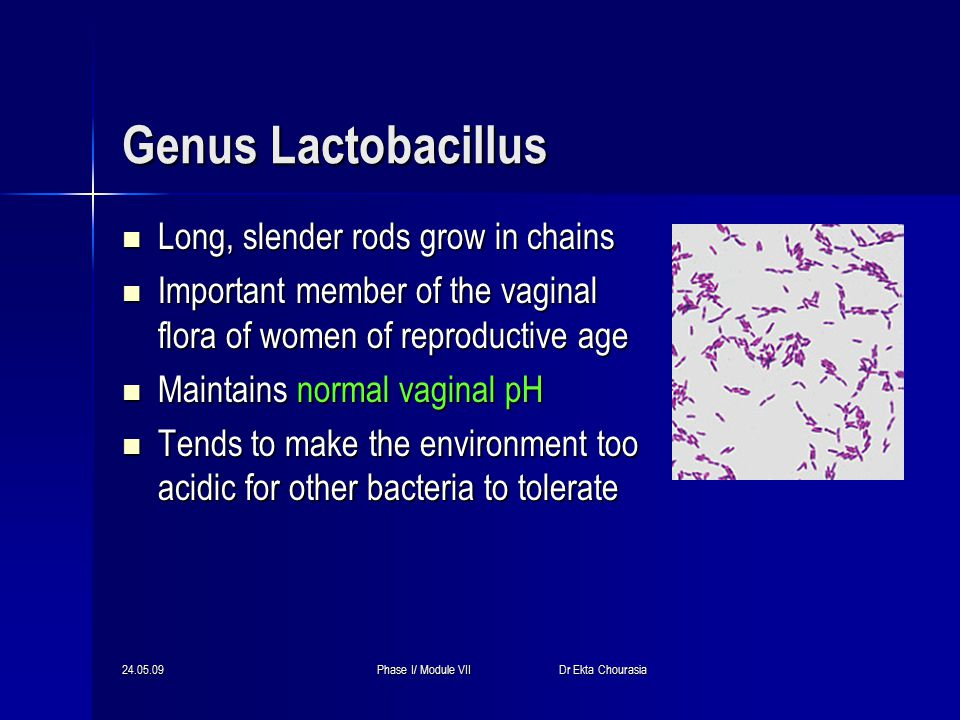 24.05.09Phase I/ Module VII Dr Ekta Chourasia Genus Lactobacillus Long, slender rods grow in chains Long, slender rods grow in chains Important member of the vaginal flora of women of reproductive age Important member of the vaginal flora of women of reproductive age Maintains normal vaginal pH Maintains normal vaginal pH Tends to make the environment too acidic for other bacteria to tolerate Tends to make the environment too acidic for other bacteria to tolerate