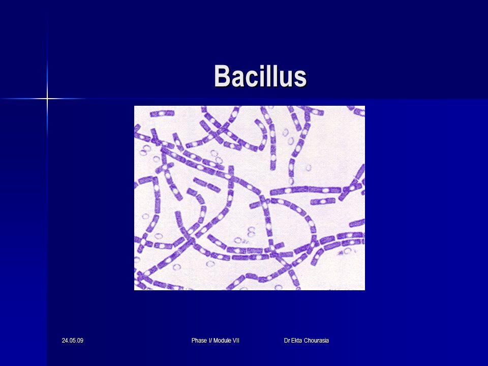 24.05.09Phase I/ Module VII Dr Ekta Chourasia General Characteristics of the Genus Bacillus Aerobic Aerobic Gram-positive, spore-forming (non bulging spores), bacilli Gram-positive, spore-forming (non bulging spores), bacilli 2 species of medical importance: 2 species of medical importance: – Bacillus anthracis – Bacillus cereus