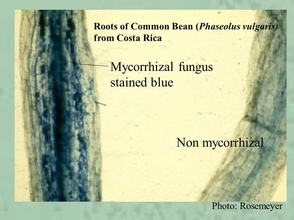 Mycorrhizal fungus stained blue Non mycorrhizal Roots of Common Bean (Phaseolus vulgaris) from Costa Rica Photo: Rosemeyer