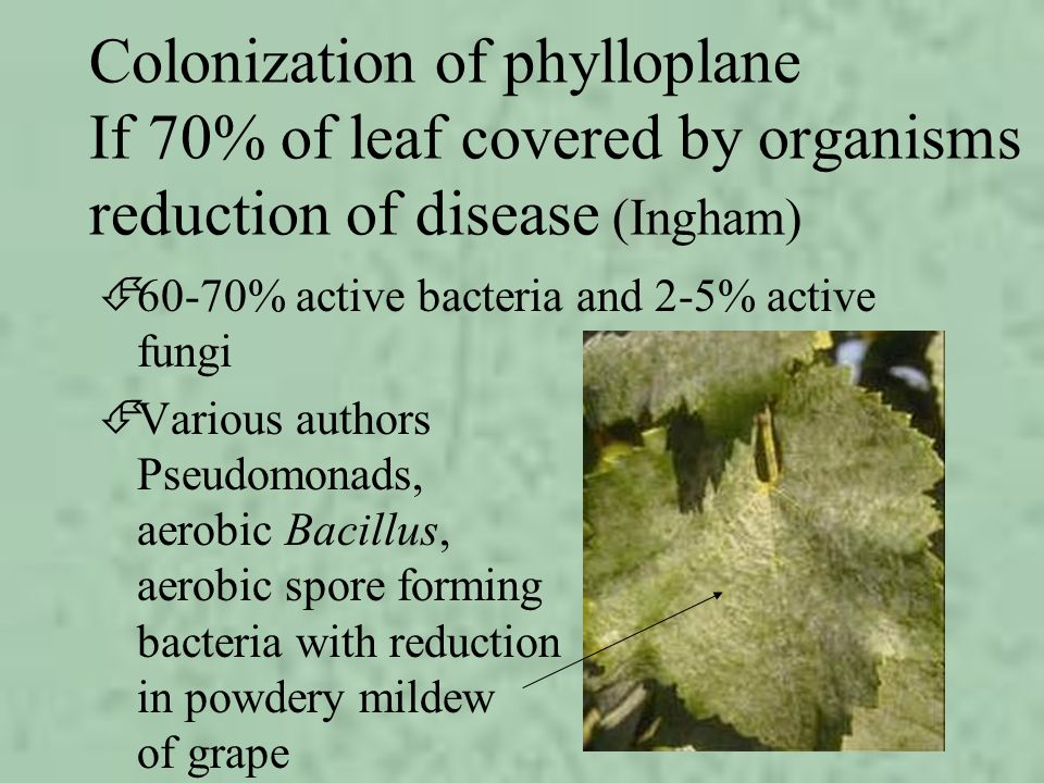 Colonization of phylloplane If 70% of leaf covered by organisms reduction of disease (Ingham) É60-70% active bacteria and 2-5% active fungi ÉVarious a