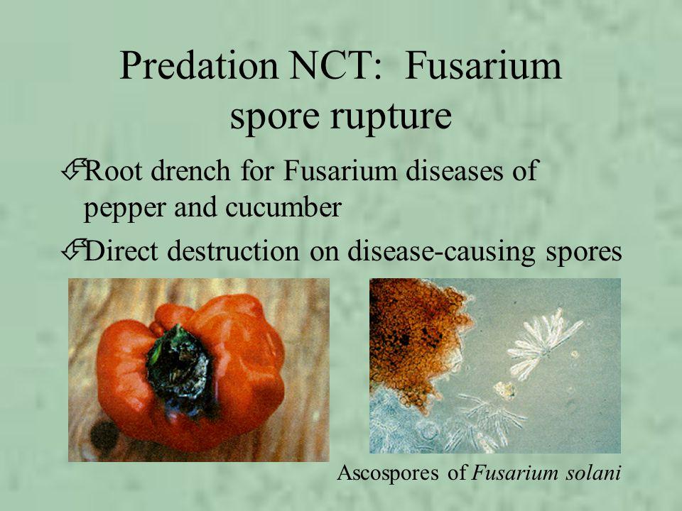 Predation NCT: Fusarium spore rupture ÉRoot drench for Fusarium diseases of pepper and cucumber ÉDirect destruction on disease-causing spores Ascospor