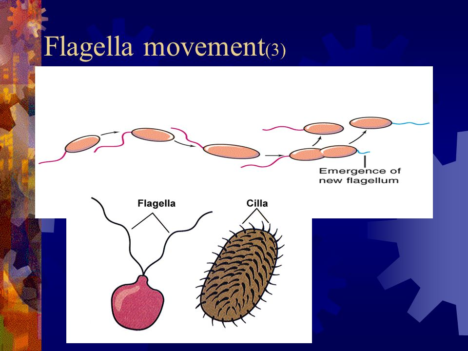 Flagella movement (3)