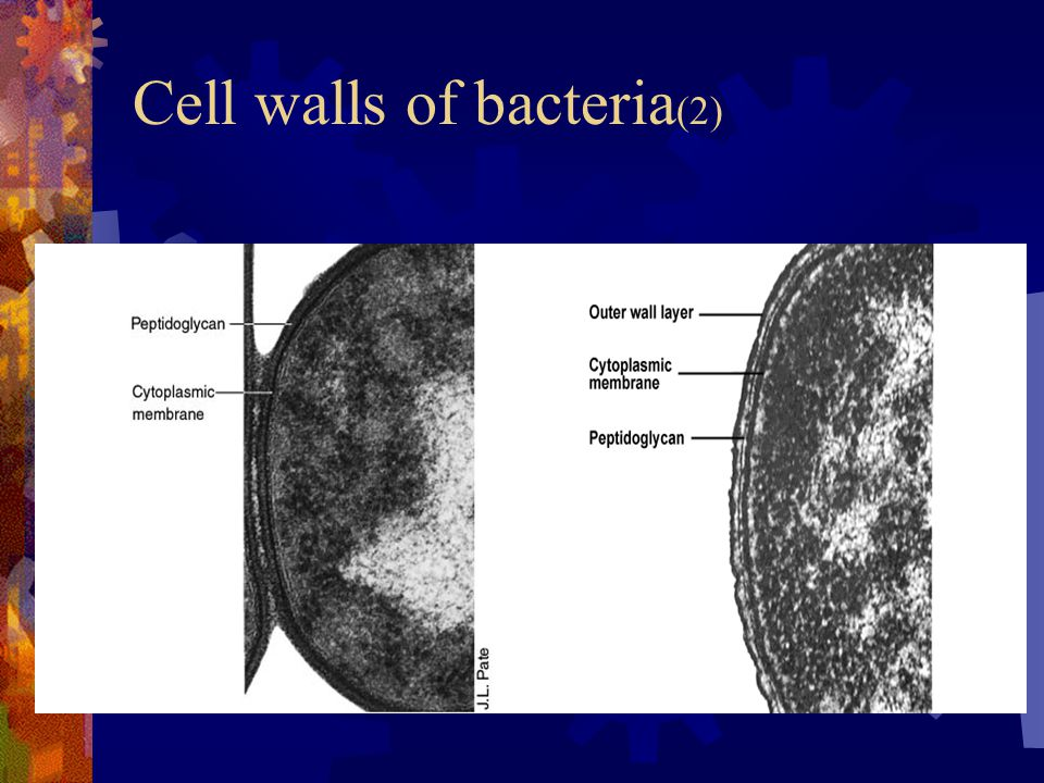 Cell walls of bacteria (2)