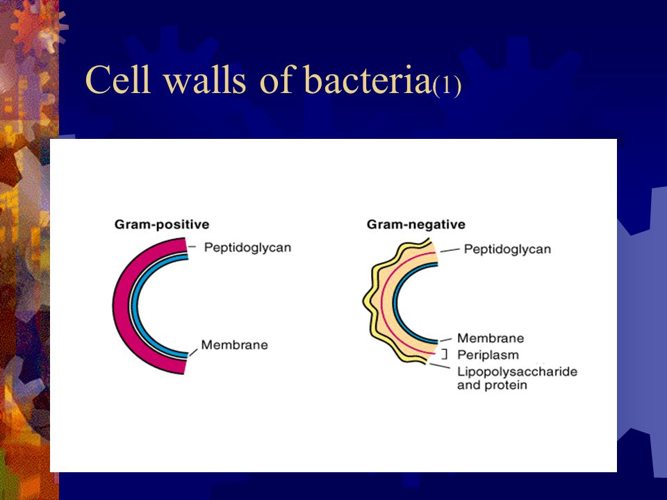 Cell walls of bacteria (1)
