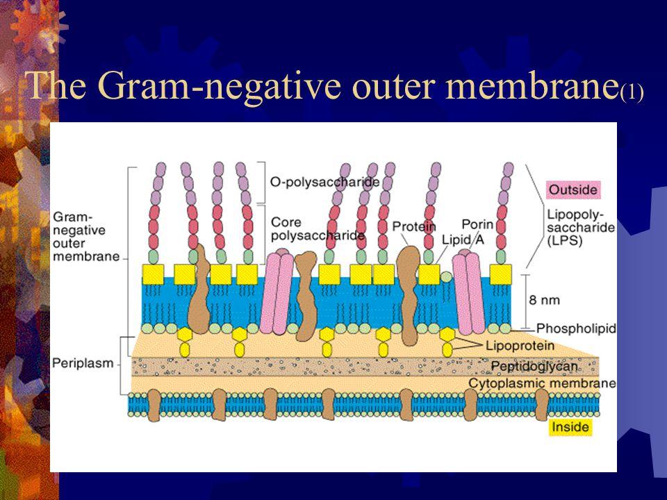 The Gram-negative outer membrane (1)