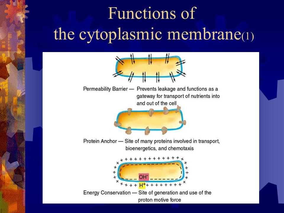 Functions of the cytoplasmic membrane (1)