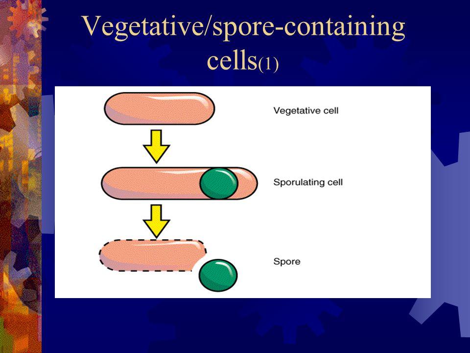 Vegetative/spore-containing cells (1)