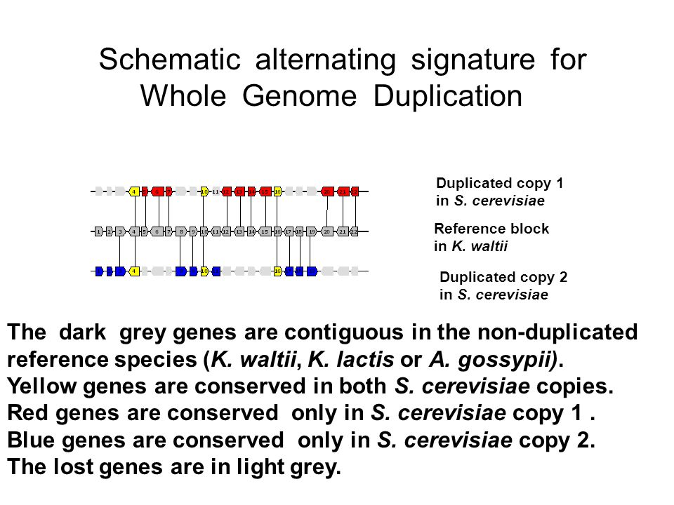 Schematic alternating signature for Whole Genome Duplication Duplicated copy 1 in S.