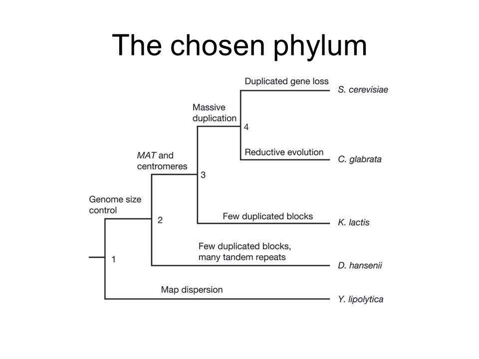 The chosen phylum