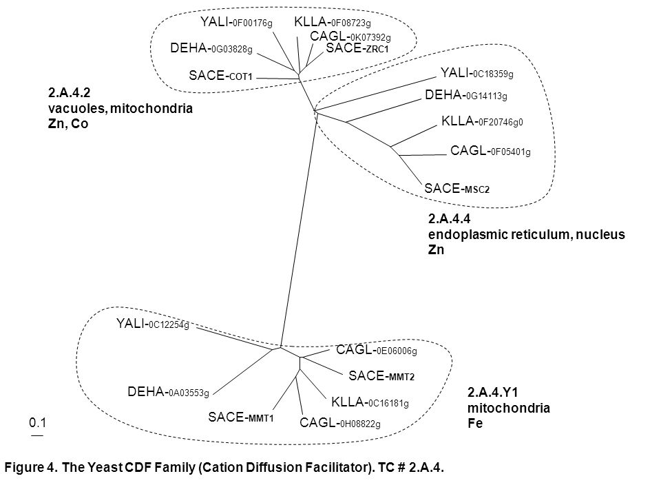 Figure 4. The Yeast CDF Family (Cation Diffusion Facilitator).