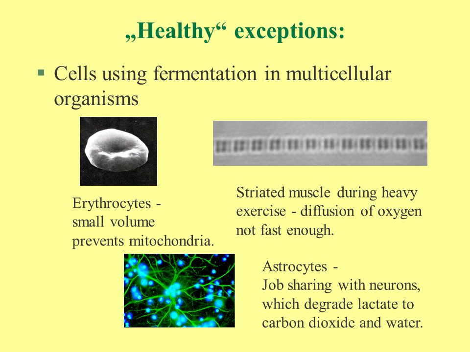 """Healthy"" exceptions: §Cells using fermentation in multicellular organisms Erythrocytes - small volume prevents mitochondria. Striated muscle during h"