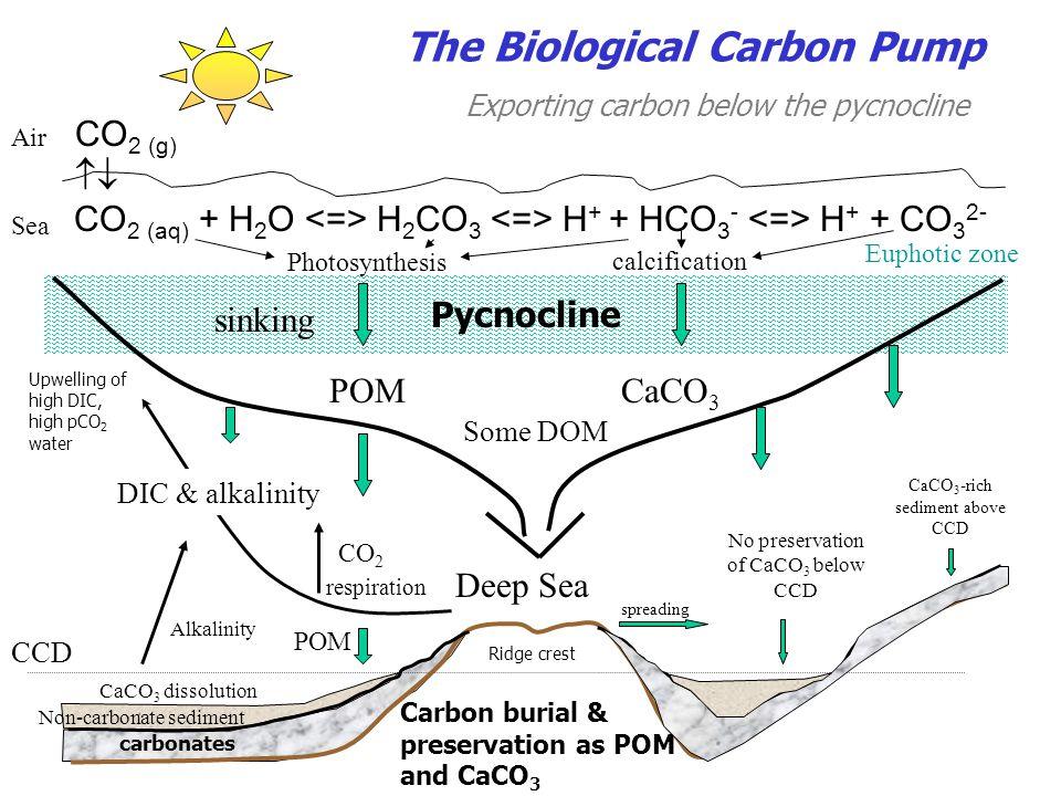 CO 2 (g)  CO 2 (aq) + H 2 O H 2 CO 3 H + + HCO 3 - H + + CO 3 2- Air Sea Pycnocline POMCaCO 3 Some DOM Non-carbonate sediment Carbon burial & preser