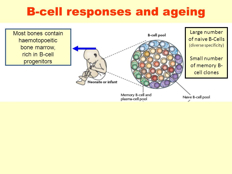 19 B-cell responses and ageing Adapted from SIEGRIST CA and ASPINALL R. Nat Rev Immunol 2009;9:185-94 Most bones contain haemotopoeitic bone marrow, r