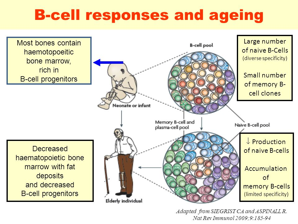 20 B-cell responses and ageing Adapted from SIEGRIST CA and ASPINALL R.