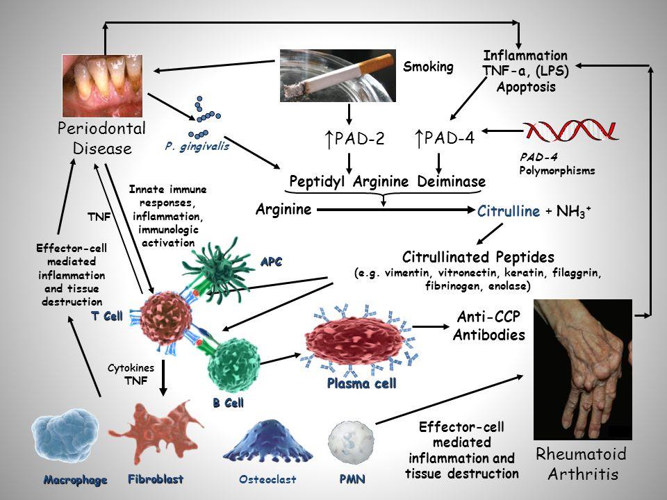 Arginine Citrulline + NH 3 + Citrullinated Peptides (e.g.