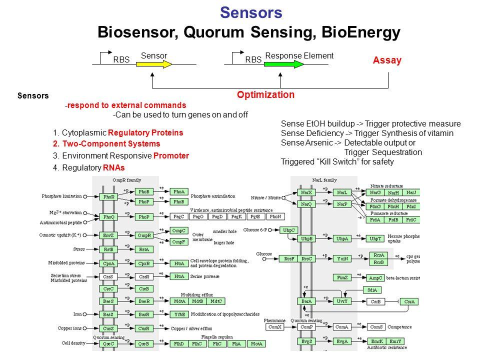 RBS Sensors Biosensor, Quorum Sensing, BioEnergy RBS SensorResponse Element Assay Sensors -respond to external commands -Can be used to turn genes on