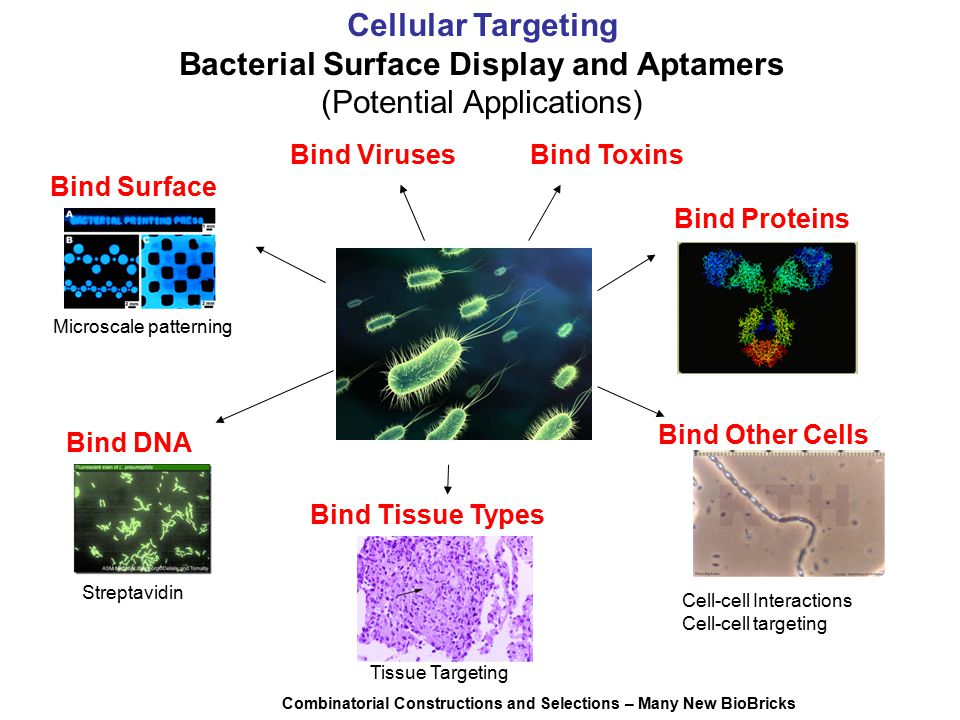 Cellular Targeting Bacterial Surface Display and Aptamers (Potential Applications) Bind Proteins Bind Other Cells Bind Tissue Types Bind Surface Bind