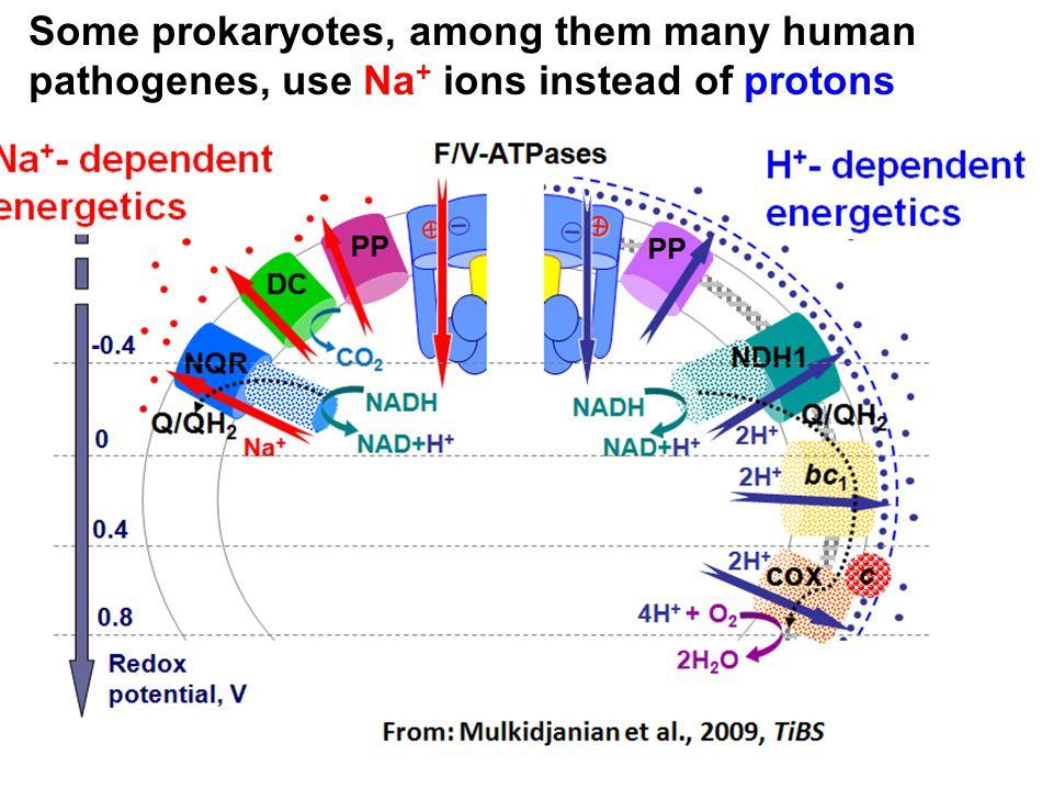 Some prokaryotes, among them many human pathogenes, use Na + ions instead of protons