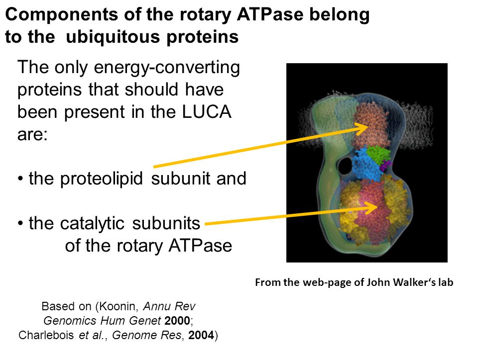 Based on (Koonin, Annu Rev Genomics Hum Genet 2000; Charlebois et al., Genome Res, 2004) Components of the rotary ATPase belong to the ubiquitous prot
