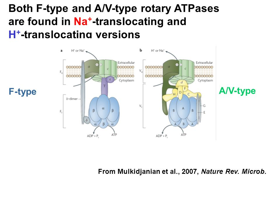 Both F-type and A/V-type rotary ATPases are found in Na + -translocating and H + -translocating versions F-type A/V-type From Mulkidjanian et al., 200