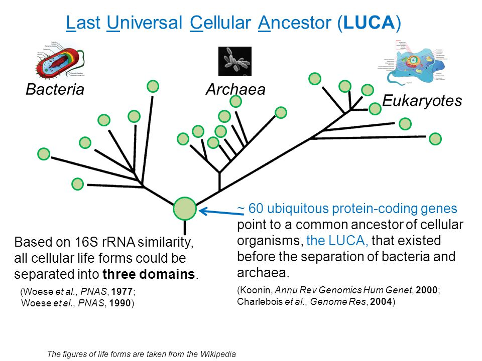 Last Universal Cellular Ancestor (LUCA) Bacteria The figures of life forms are taken from the Wikipedia Based on 16S rRNA similarity, all cellular lif