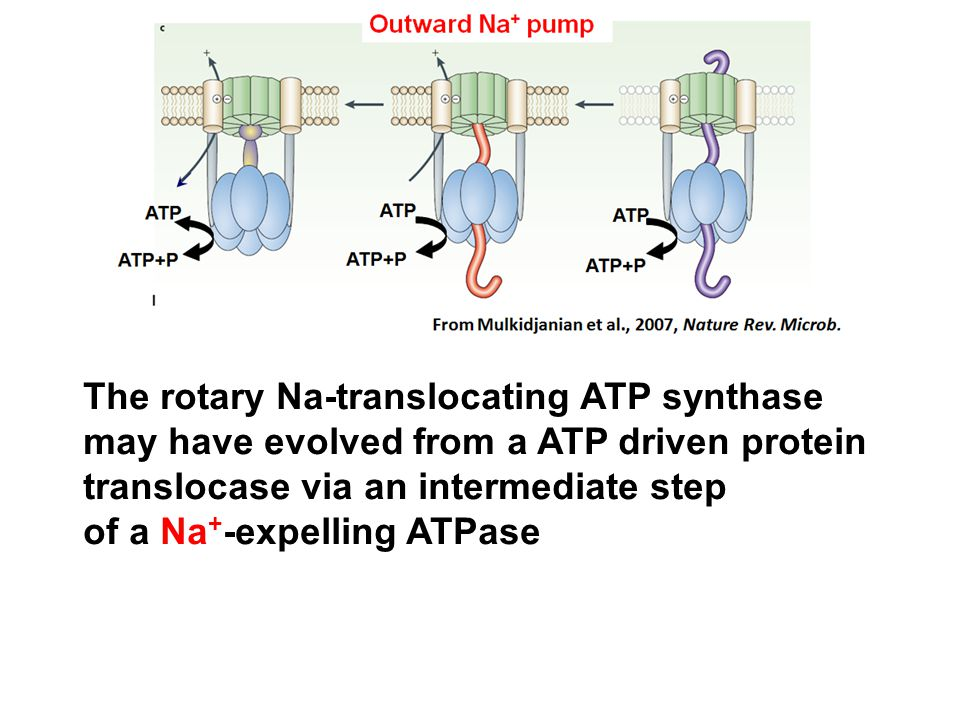 The rotary Na-translocating ATP synthase may have evolved from a ATP driven protein translocase via an intermediate step of a Na + -expelling ATPase